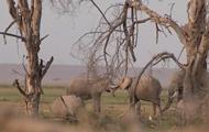 В нацпарке Кении родилось более двухсот слонов