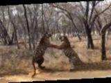 Cхватка двух тигров в Индии попала на видео