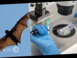 Ученые предупредили об угрозе новой смертоносной пандемии от летучих мышей и свиней