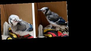 В США певчие птицы массово гибнут от неизвестной болезни