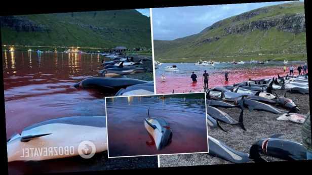 На Фарерских островах убили около 1,5 тысячи дельфинов: кровавая резня проводится ежегодно много веков. Фото и видео
