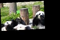 В мире за год возник бэби-бум среди панд